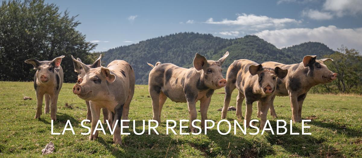 Image d'un slider avec des cochons dans un pré
