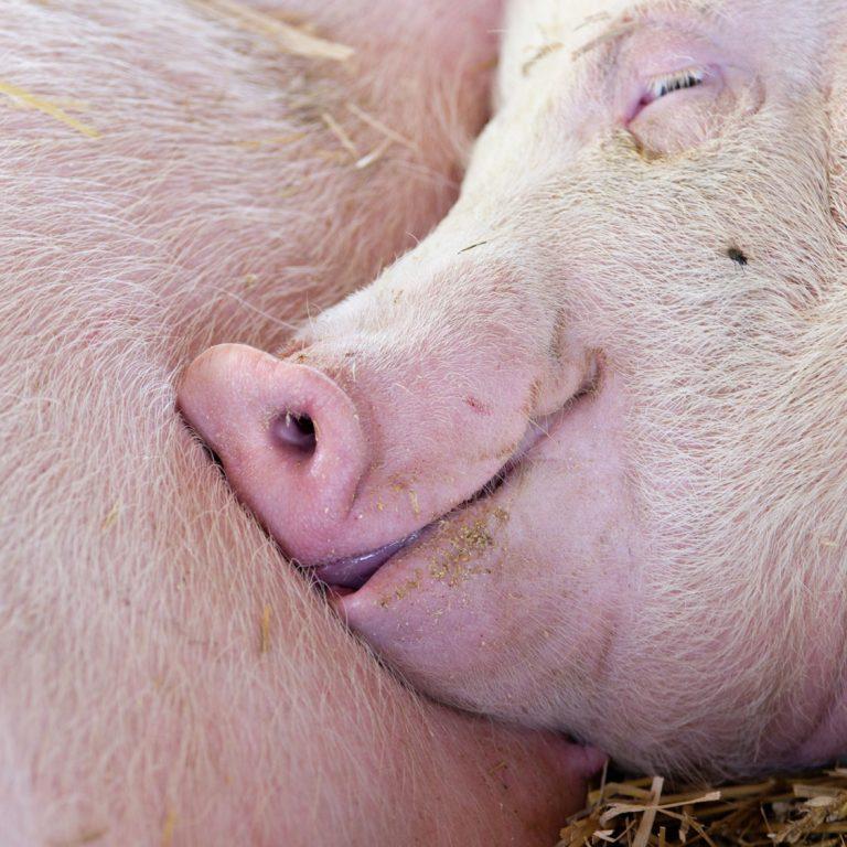 Photo carré d'un porc somnolant