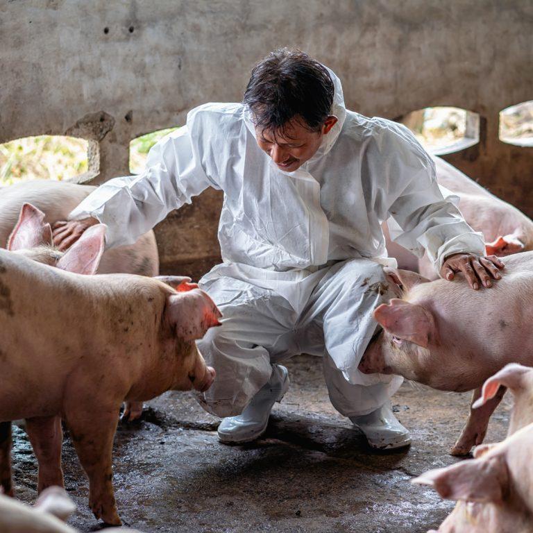 Photo carré d'homme caressant des porcs dans un élevage