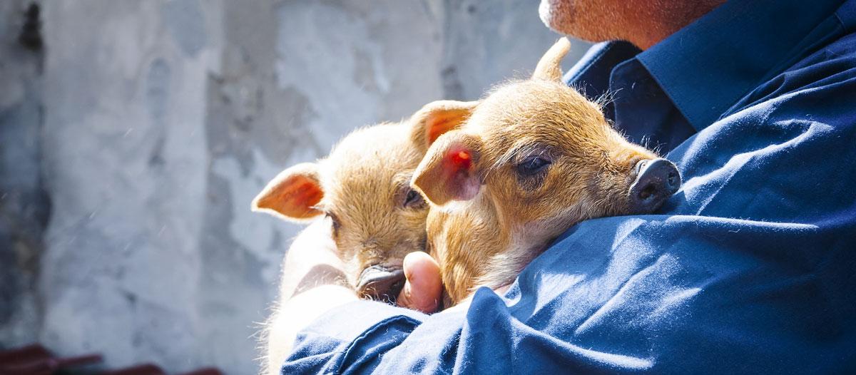 Image d'un slider avec des cochons tenu par un homme